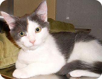 Domestic Shorthair Kitten for adoption in Buhl, Idaho - Aspen