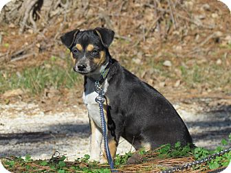 Chihuahua/Australian Cattle Dog Mix Puppy for adoption in Hartford, Connecticut - HANK