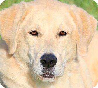 Labrador Retriever Dog for adoption in Wakefield, Rhode Island - GENERAL(GENTLE GENTLEMAN!!