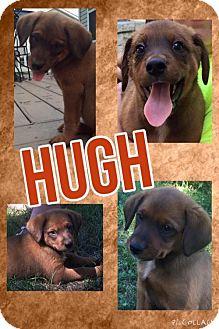 Australian Cattle Dog Mix Dog for adoption in House Springs, Missouri - hugh