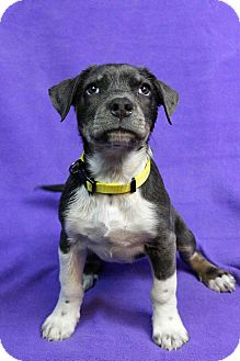 Retriever (Unknown Type) Mix Puppy for adoption in Westminster, Colorado - Riva