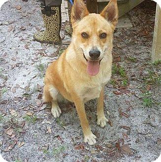 German Shepherd Dog Mix Dog for adoption in Jacksonville, Florida - Beckley