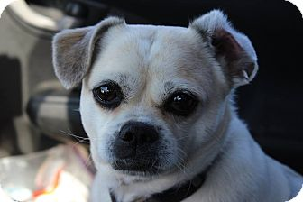 Pug/Pekingese Mix Dog for adoption in kennebunkport, Maine - Chi Chi - in Maine
