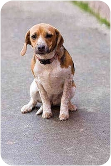 Beagle Puppy for adoption in Portland, Oregon - Nala