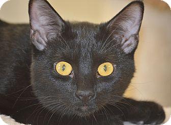 Domestic Shorthair Kitten for adoption in San Leon, Texas - Vincent