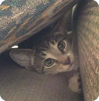 Domestic Shorthair Kitten for adoption in Toledo, Ohio - Shania