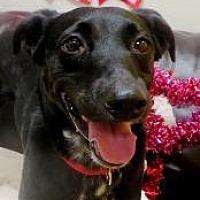 Adopt A Pet :: HARLEY - Little Rock, AR