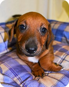 Jack Russell Terrier/Dachshund Mix Puppy for adoption in Michigan City, Indiana - Jimmy