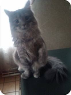 Domestic Mediumhair Kitten for adoption in Palatine, Illinois - Laurel