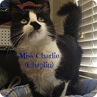 Adopt A Pet :: Miss Charlie Chaplin (Delilah) - Orlando, FL