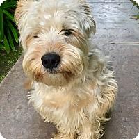Adopt A Pet :: Farm Boy Guiness - Corona, CA