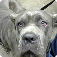 Presa Canario Mix Dog for adoption in Decatur, Georgia - Blue Baby - ADOPTED