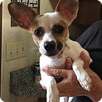 Adopt A Pet :: Harley Quinn - Savannah, GA