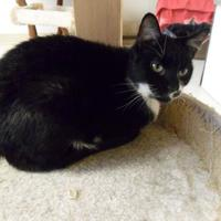 Domestic Shorthair/Domestic Shorthair Mix Cat for adoption in Thomasville, Georgia - Eartha