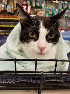 Domestic Shorthair Cat for adoption in Morgan Hill, California - Aranruth
