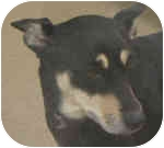 Chihuahua/Miniature Pinscher Mix Dog for adoption in Eatontown, New Jersey - Sally