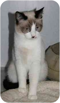 Domestic Shorthair Kitten for adoption in Marietta, Georgia - Bosley