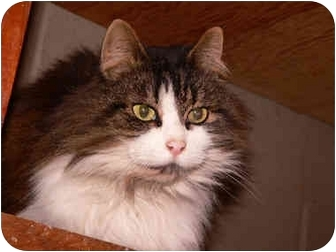 Maine Coon Cat for adoption in Putnam Valley, New York - Lois
