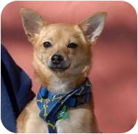 Chihuahua Mix Dog for adoption in Denver, Colorado - Mittens