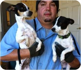 Rat Terrier Dog for adoption in Haughton, Louisiana - Sabine kill shelter (Colby/Ali