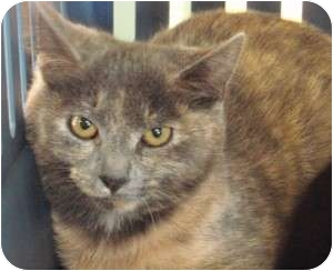 Domestic Shorthair Kitten for adoption in Raritan, New Jersey - Eskimo