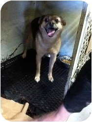 Pug/Beagle Mix Dog for adoption in Warren, Michigan - Pugsley