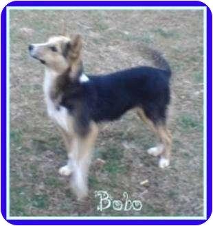 German Shepherd Dog Mix Puppy for adoption in Beacon, New York - Bobo