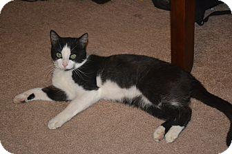 Domestic Shorthair Cat for adoption in Davison, Michigan - Bree