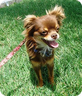 Cavalier King Charles Spaniel/Chihuahua Mix Dog for adoption in El Cajon, California - Charlie