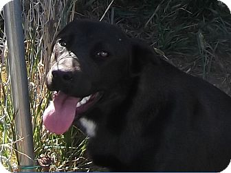 Shepherd (Unknown Type)/Labrador Retriever Mix Puppy for adoption in Cut Bank, Montana - Mutton