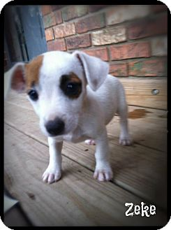 Rat Terrier/Feist Mix Puppy for adoption in Cranford, New Jersey - Zeke