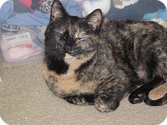 Domestic Shorthair Kitten for adoption in Speonk, New York - Sophie