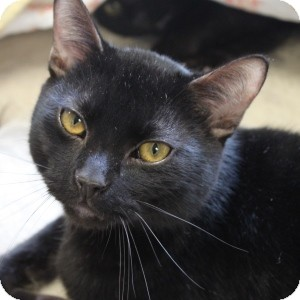 Domestic Shorthair Cat for adoption in Naperville, Illinois - George