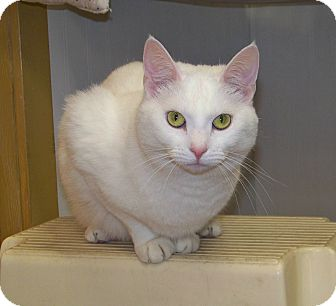 Domestic Shorthair Cat for adoption in Dover, Ohio - Sally