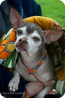 Chihuahua Dog for adoption in Youngstown, Ohio - Batman ~ Adoption Pending