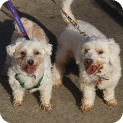 Maltese/Bichon Frise Mix Dog for adoption in Eatontown, New Jersey - Beau and Baxter
