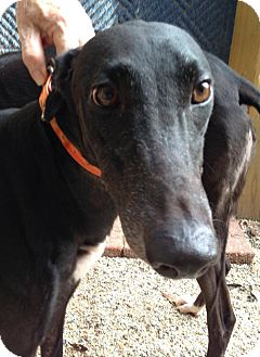 Greyhound Dog for adoption in Pearl River, Louisiana - Andy