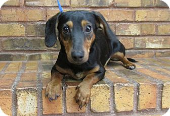 Dachshund Mix Dog for adoption in Benbrook, Texas - Frankie