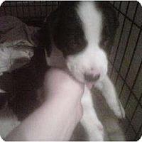 Adopt A Pet :: Smokey Bear - Kingwood, TX