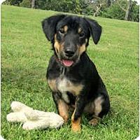 Adopt A Pet :: Chase - DeKalb, IL
