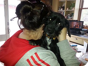 Schnauzer (Miniature)/Terrier (Unknown Type, Small) Mix Puppy for adoption in Freeport, New York - Maggie