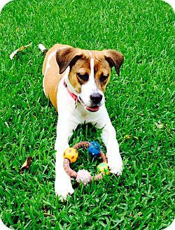 Boxer/Pointer Mix Puppy for adoption in Miami, Florida - Sasha