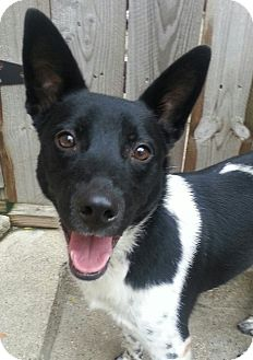 Cattle Dog/Border Collie Mix Dog for adoption in Chicago, Illinois - Dixie*ADOPTED!*