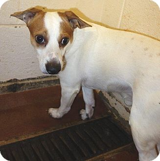 Jack Russell Terrier Mix Dog for adoption in McDonough, Georgia - Arty