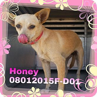 Chihuahua/Terrier (Unknown Type, Small) Mix Dog for adoption in DELANO, California - Honey