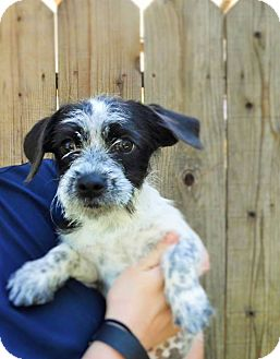 Jack Russell Terrier/Maltese Mix Puppy for adoption in Dublin, California - Sadie