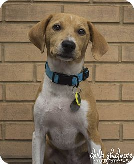 Collie/Terrier (Unknown Type, Medium) Mix Puppy for adoption in Charlotte, North Carolina - Pumpkin