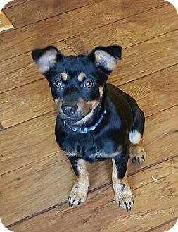 Chihuahua/Miniature Pinscher Mix Dog for adoption in Washington, D.C. - Shadow (Pom-cr)