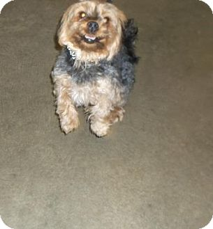 Yorkie, Yorkshire Terrier/Terrier (Unknown Type, Small) Mix Dog for adoption in Rapid City, South Dakota - Rosie