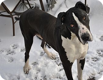 Great Dane Dog for adoption in Springfield, Illinois - Toby